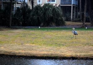 dsc_4484-med-great-blue-heron