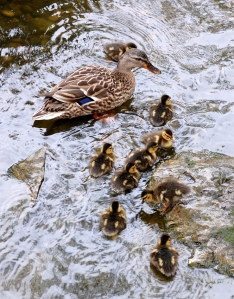 One of three sets of ducklings on the pond outside the Hintz Family Alumni Center.