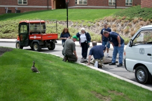 Momma Duck waiting while the Physical Plant staff rescue her 11 ducklings.