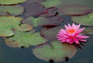 DSC_0399 sm water lily