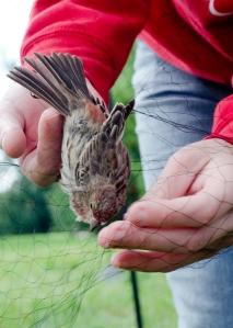Bird_banding