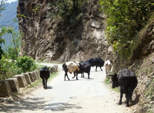 DSC_2592_med_cows