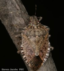 Up close and personal: a brown marmorated stink bug.
