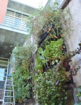 The edible living wall outside Stuckeman.