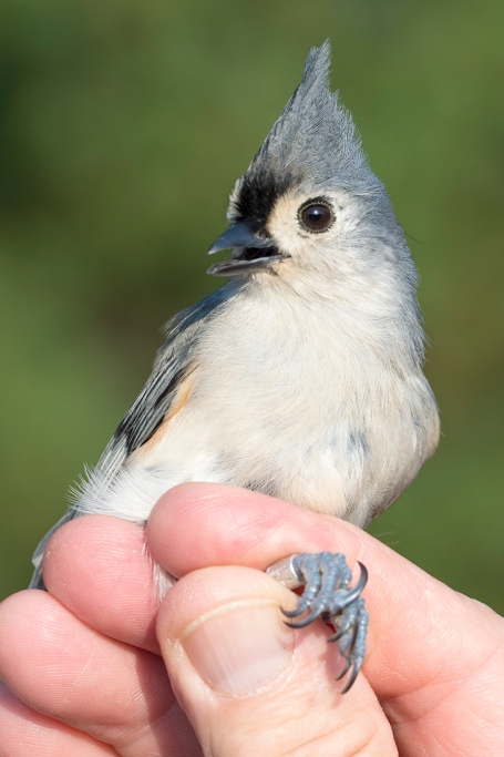 dsc_0659_tufted_titmouse