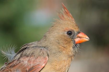 dsc_0710_female_cardinal